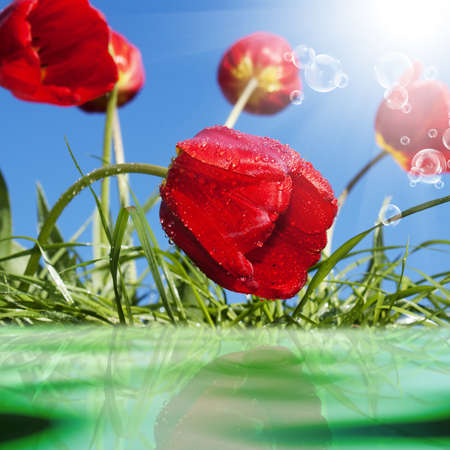 Red tulips Spring background photo