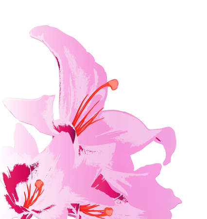 Beautiful pink lily on a white background Holiday card Vector Vector