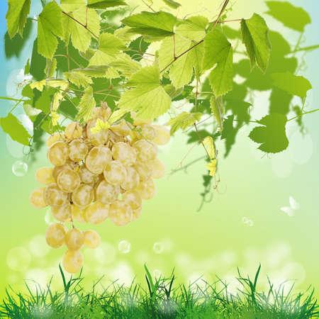 Ripe green grape Season nature  photo