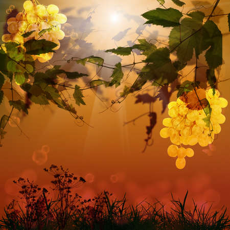 vineyard sunset: Ripe bunch grape Season nature Summer grapes sunset Stock Photo