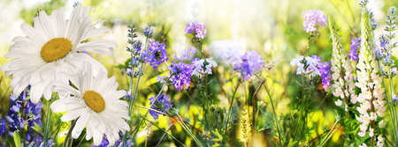 Chamomile and lavender  Flowers field at Sunset  Soft Focus  photo