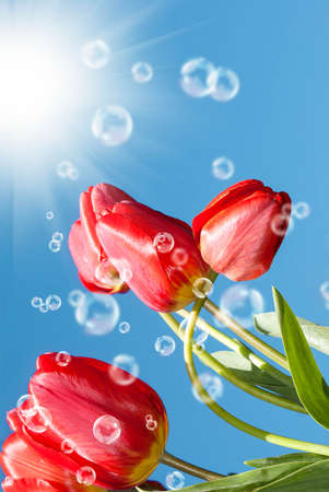 Bouquet beautiful red tulip on blue sky background photo