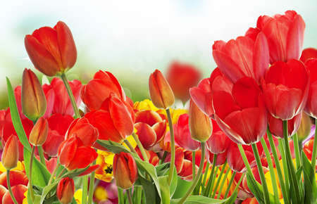 garden fresh: Beautiful garden fresh colorful tulips.Springtime.nature background