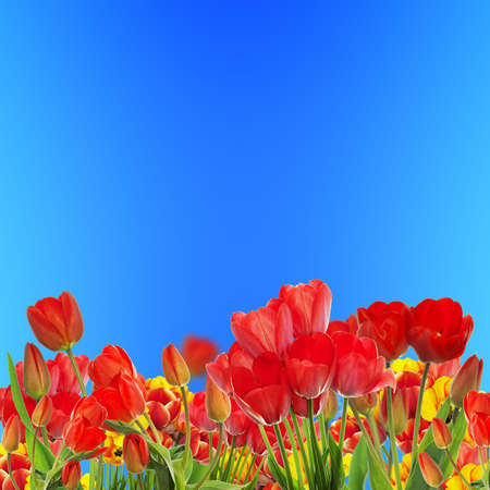 garden fresh: Beautiful garden fresh colorful tulips on blue sky abstract  background