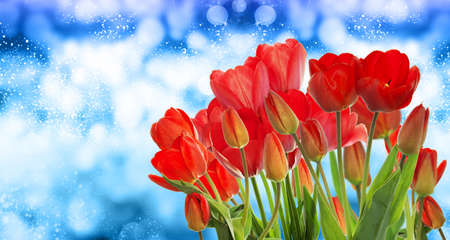 garden fresh: Beautiful garden fresh red tulips on abstract  background