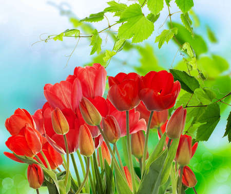 garden fresh: Beautiful garden fresh colorful tulips on abstract  background spring nature