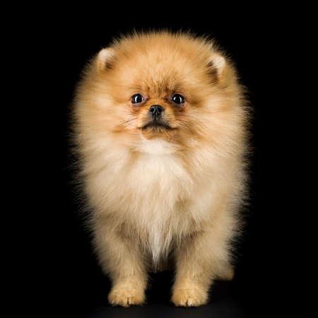 ポメラニアンの子犬 写真素材