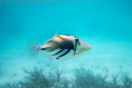 trigger fish: Rhinecanthus or Black Bar Triggerfish