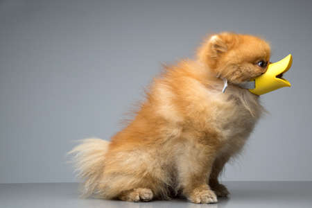 breed: Dog Breed the Spitz dressed duck