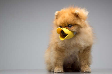 coquetry: Dog Breed the Spitz dressed duck