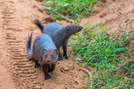 Banded mongoose (Mungos mungo colonus). Wild life animal. Yala, Sri Lanka