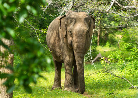 Aziatische jonge olifant, aardachtergrond. Yala, Sri Lanka