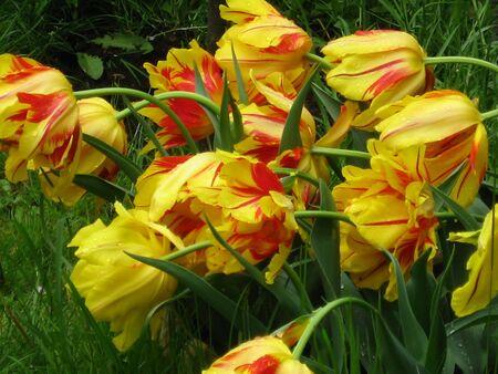 Tulips Stock Photo - 3132229