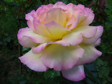 Roses Stock Photo - 3149844