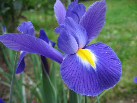 Iris Stock Photo - 3257866