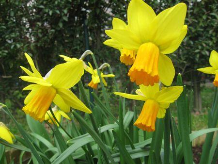 Narcissus photo