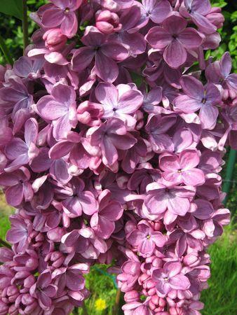 Lilac Stock Photo - 4745000