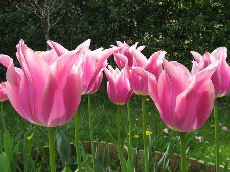 pfingstrosen: Tulpen Lizenzfreie Bilder