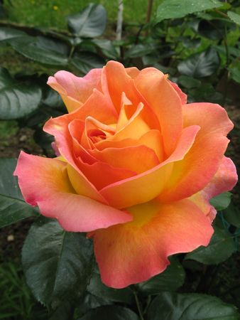 Roses Stock Photo - 5033001