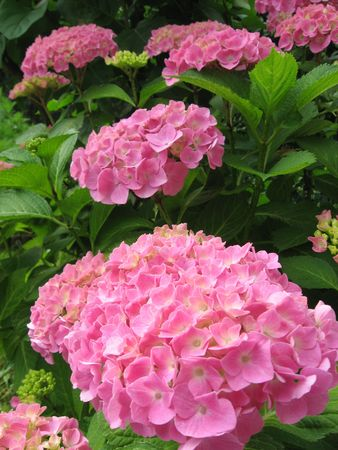 pfingstrosen: Blumen