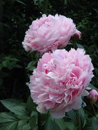 tree peony: Peons Stock Photo