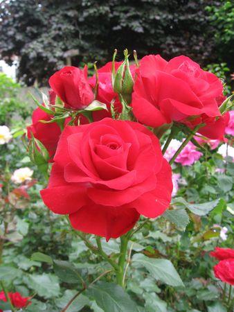 Roses Stock Photo - 5090314