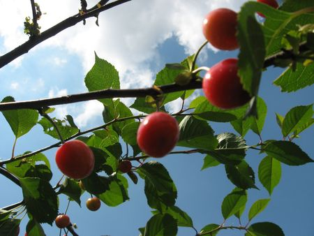Cherry Stock Photo - 5090450