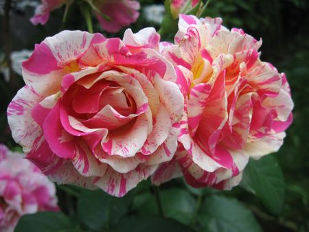 Roses Stockfoto
