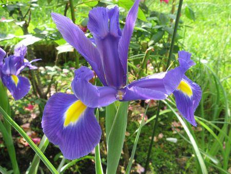 Iris blue photo