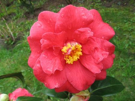 Camellia Stock Photo - 10763324