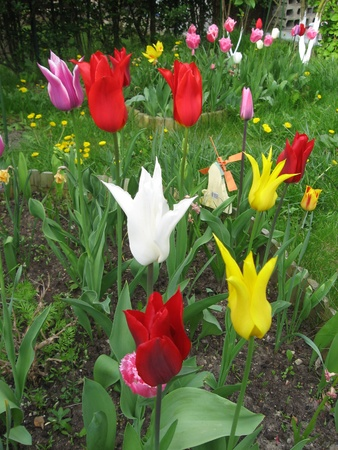 Tulips in spring photo