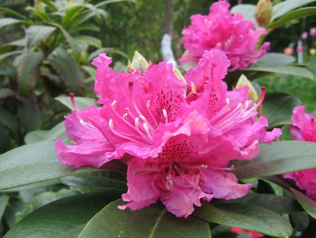 Rhododendron pink Stock Photo - 10763393