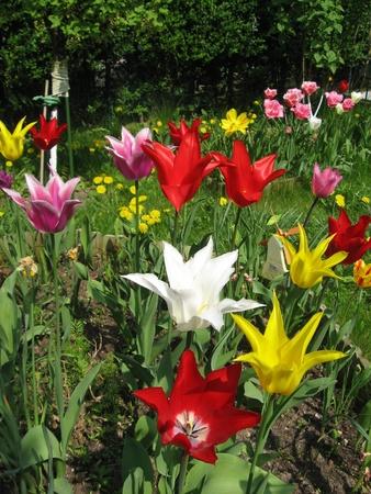 Tulips in spring photo