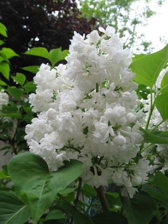 Lilac white photo