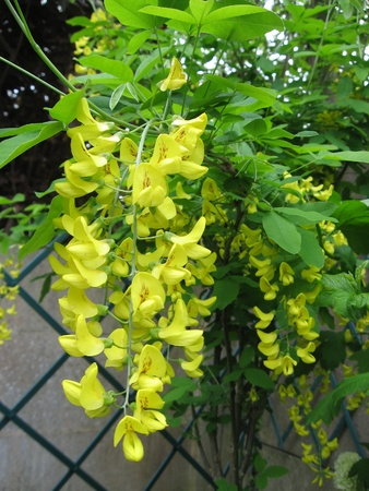 Yellow flowers in the garden photo