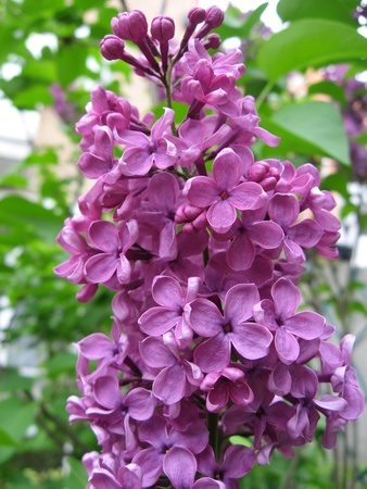 blueberry bushes: Lilac