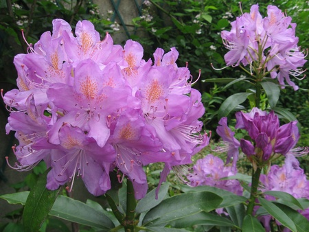 Rhododendron Stock Photo - 10763420