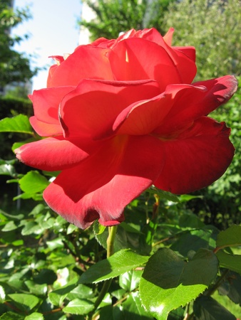 Rose red Stock Photo - 10763347