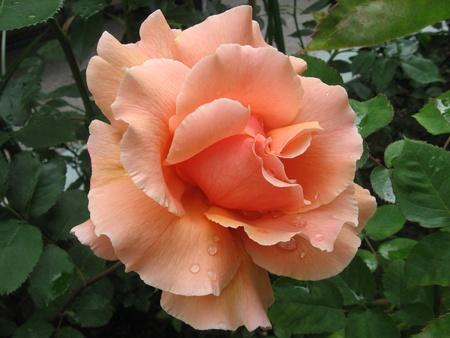 pfingstrosen: Rosa sch�nheit