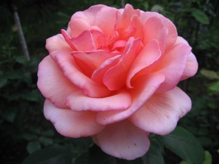 pfingstrosen: Rosa Traum