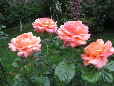 camellia: Rose
