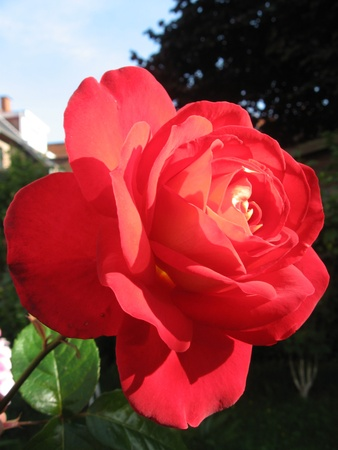 Rose red photo