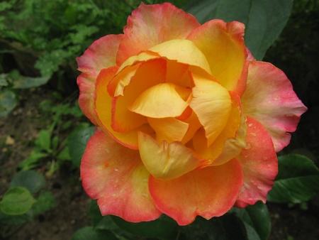 Rose yellow photo