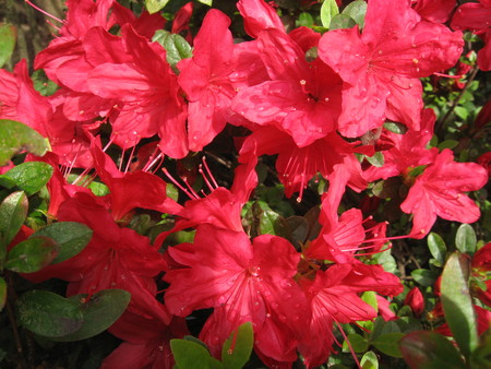 Azalea red photo