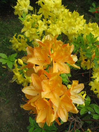 Azalea yellow and orange photo