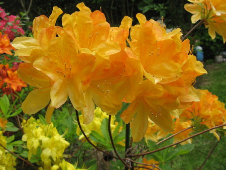 Azalea orange photo