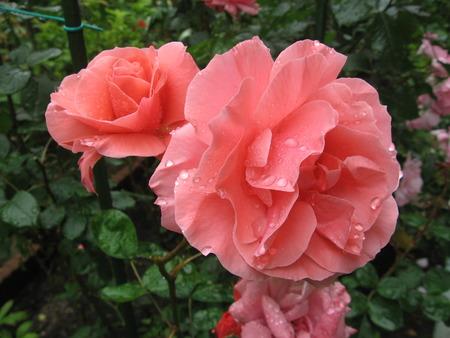 Rose beauty photo