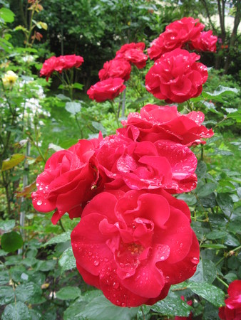 Red roses after rain photo