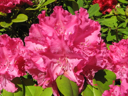 Rhododendron pink photo