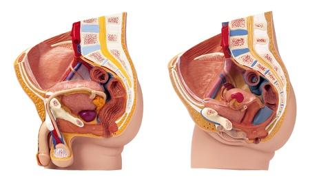 genitali: Organi riproduttivi umani isolati su sfondo bianco